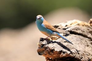 Blue Wax Bill
