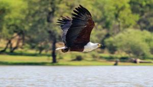 Thaba Khaya Fish Eagle